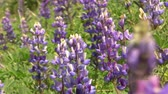 in full bloom : California Wild Flowers Lupines Close Up Stock Footage