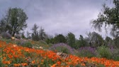 in full bloom : California Wild Flowers  Poppy Time Lapse