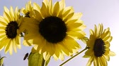 girassol : Sunflower and Clear Sky Stock Footage