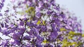 in full bloom : Jacaranda Tree Stock Footage