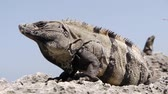 reus : Giant Iguana Stockvideo