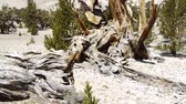 скрученный : Ancient Bristlecone Pine Tree Стоковые видеозаписи