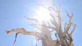flare light : Ancient Bristlecone Pine Tree Time Lapse
