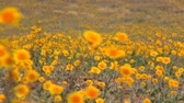 in full bloom : Death Valley Wild Flowers