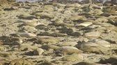 reus : Elephant Seals Colony Stockvideo