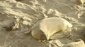 korumalı : Elephant Seals Colony Stok Video