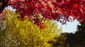 сентиментальный : Japanese Maple and Ginkgo Trees in Autumn in Japan
