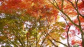 сентиментальный : Japanese Maple Trees in Autumn in Japan