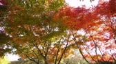 сентиментальный : Japanese Maple Trees with Pan Motion in Autumn in Japan