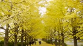 сентиментальный : Japanese Ginkgo Tree in Autumn in Japan