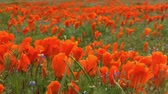 in full bloom : California Wild Flowers Poppy Fields