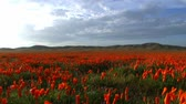 in full bloom : California Wild Flowers Poppy Fields Time Lapse