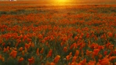 in full bloom : Time lapse footage with motion of wild flower at full bloom with sunset in California Poppy Reserve in Antelope Valley