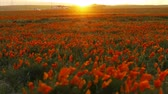 in full bloom : 4K Time lapse footage with tilt up motion of wild flower at full bloom with sunset in California Poppy Reserve in Antelope Valley Stock Footage
