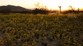 everlasting : Desert Golden Flower Carpet Time Lapse Pan Left Stock Footage