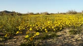 everlasting : Footage of golden flower carpet in Mojave Desert, California Stock Footage