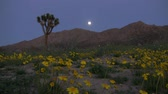 сентиментальный : Time lapse footage with motion of full moon rising over desert flower carpet in Mojave desert, California Стоковые видеозаписи