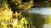 malzemeleri : Footage of papyrus plant over reflective pond
