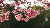 Footage of cherry blossom trees in full Bloom