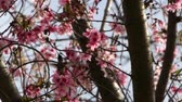 Footage of cherry blossom with humming bird