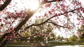 Footage of cherry blossom trees in full Bloom with pan right motion