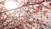 Time lapse footage with pan right motion of cherry blossoms in full bloom