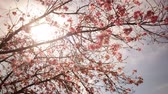 Time lapse footage with tilt down motion of cherry blossoms in full bloom