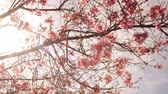 Time lapse footage with zoom out motion of cherry blossoms in full bloom Stock Footage