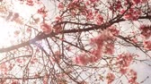 Time lapse footage with cherry blossoms in full bloom