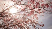 4K Time lapse footage with tilt down motion of cherry blossoms in full bloom