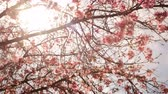 4K Time lapse footage with pan right motion of cherry blossoms in full bloom
