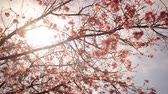 4K Time lapse footage with zoom in motion of cherry blossoms in full bloom Stock Footage