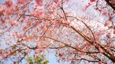 Time lapse footage with pan left motion of cherry blossoms in full bloom