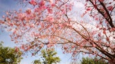 Time lapse footage with tilt up motion of cherry blossoms in full bloom