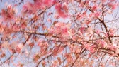 április : Time lapse footage with zoom out motion of cherry blossoms in full bloom Stock mozgókép