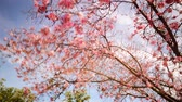 Time lapse footage of cherry blossoms in full bloom Stock Footage