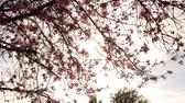 Time lapse footage with zoom in motion of cherry blossoms in full bloom Stock Footage