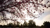 springtime : Time lapse footage of cherry blossoms in full bloom Stock Footage