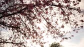 4K Time lapse footage with zoom out motion of cherry blossoms in full bloom
