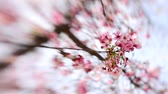 április : Footage of cherry blossom trees in full Bloom