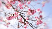 springtime : Footage of cherry blossom trees in full Bloom