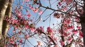 kwiaty : Footage of cherry blossom trees in full Bloom