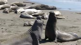 animais : Male Elephant Seals Fighting