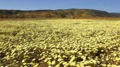 california drought : Motion controlled time lapse with dolly left, pan right   zoom out motion of carpet of wild desert dandelions in Lancaster, California