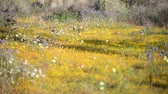 lupine : Footage with tilt up motion of desert wild flowers at springtime in Antelope Valley California Poppy Reserve, California -Long Shot- Stock Footage