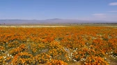 in full bloom : California Poppy at full bloom in Antelope Valley California Poppy Reserve, California -Wide Shot- Stock Footage
