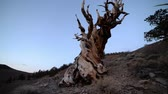 скрученный : Footage with pan right motion of ancient bristlecone pine trees at dusk in White Mountain, California -Slow- Стоковые видеозаписи