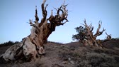скрученный : Footage with tilt up motion of ancient bristlecone pine trees at dusk in White Mountain, California Стоковые видеозаписи