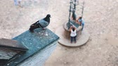 opustit : One dove flies away from the other pigeon Dostupné videozáznamy