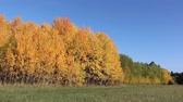 осина : Yellow aspens on a glade in the autumn wood